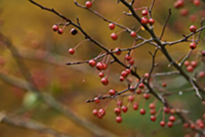 Berries-300-72